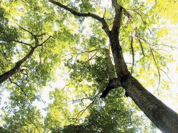 Oaks from below