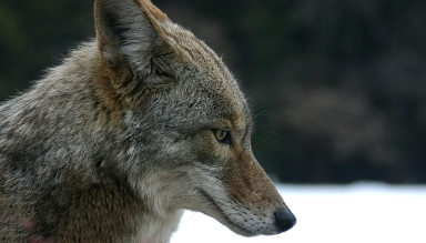 coyote_portrait
